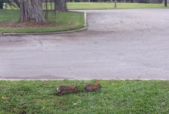 Club Med Sandpiper Bay - rabbits