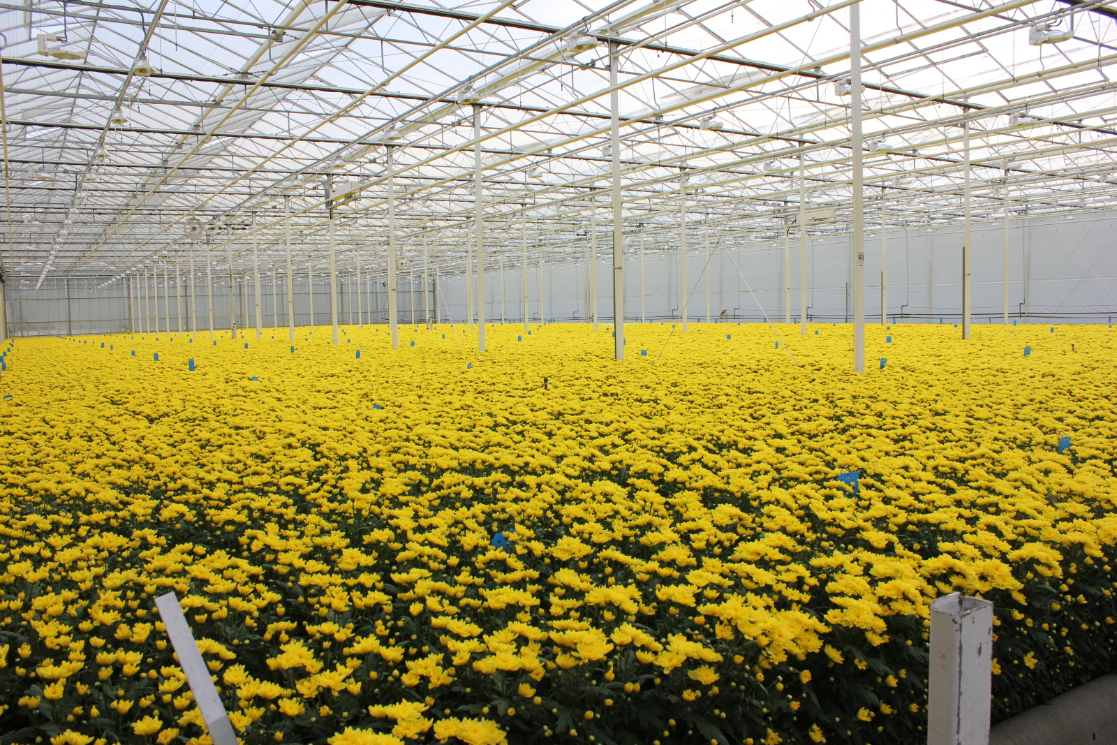 IMG_8866 Arcadia – Chrysanthemum grower