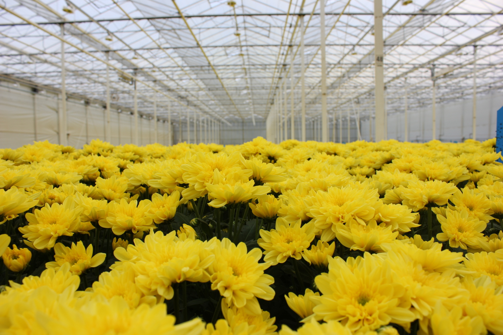 IMG_8870 Arcadia – Chrysanthemum grower